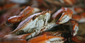 KERRY MALONEY / LOUISIANA SEAFOOD NEWSLouisiana blue crab.
