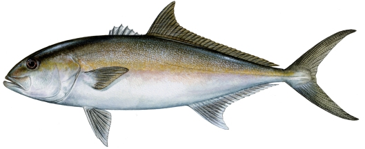 Greater Amberjack. Illustrations by Diane Rome Peebles
