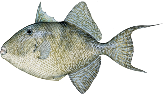 gray triggerfish copy