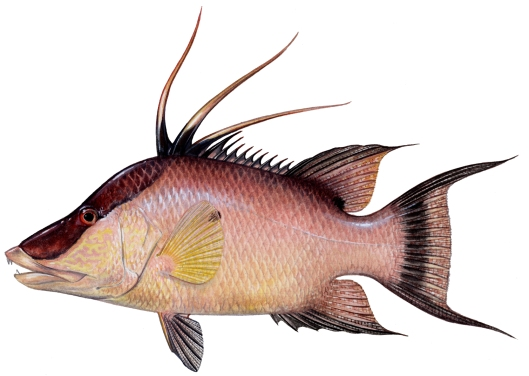 hogfish copy