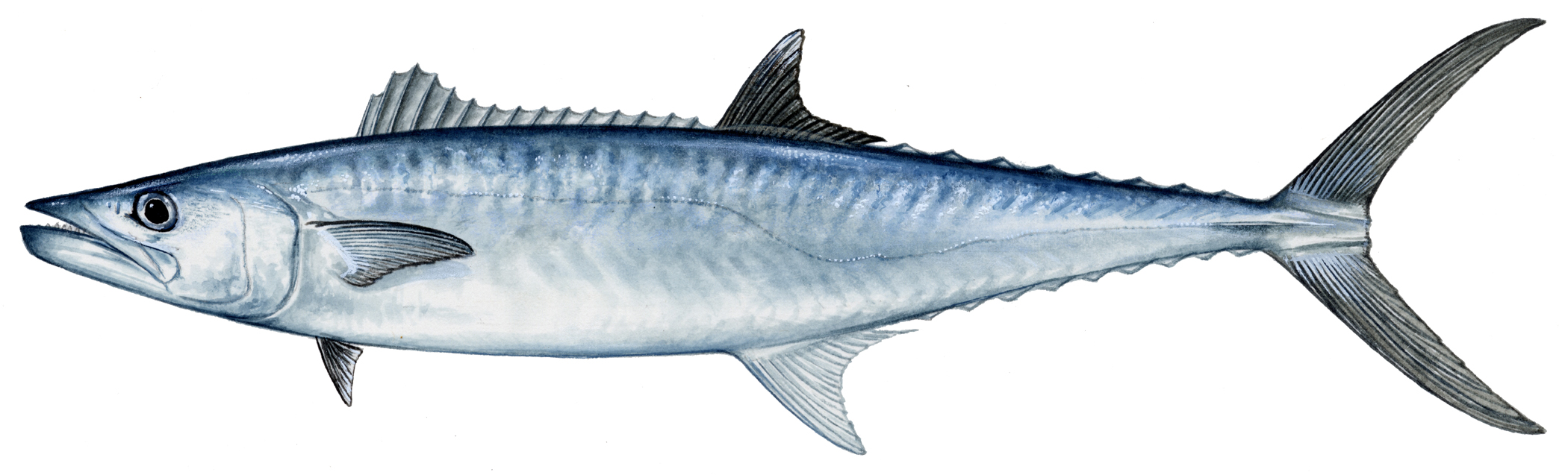 Upcoming events louisiana lagniappe for Spanish mackerel fish