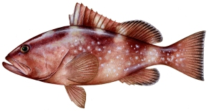 Red Grouper- Illustration by Diane Rome Peebles