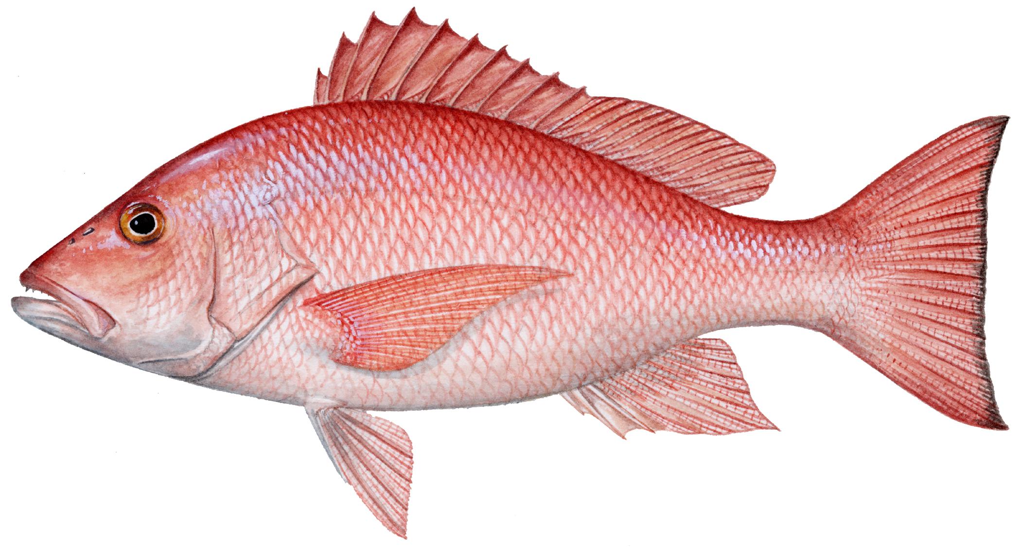 Red Snapper Louisiana Lagniappe
