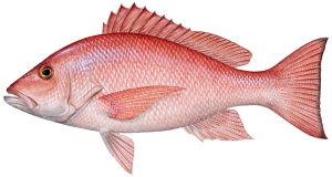 Red Snapper Illustration by Diane Rome Peebles