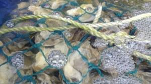 Louisiana Oysters Credit: Leslie Davis