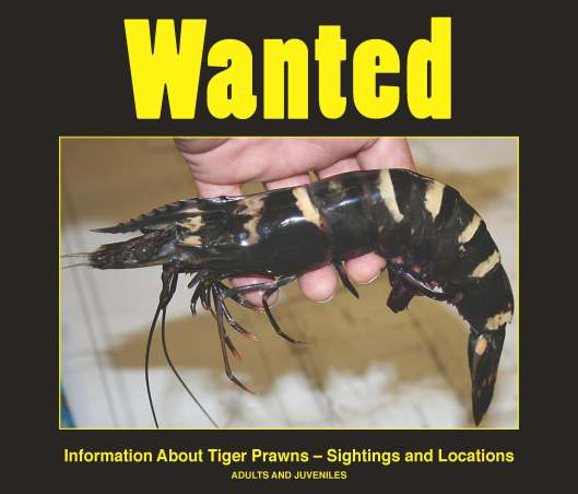 Wanted_TigerPrawn