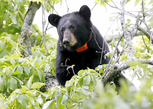 collared_black_bear_photo_-_ldwf