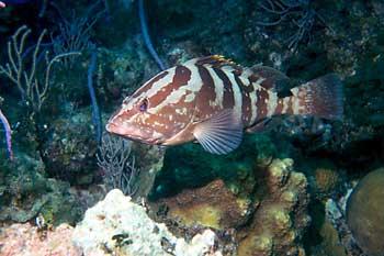 spawn_grouper