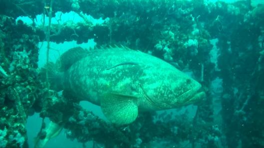 goliath-grouper